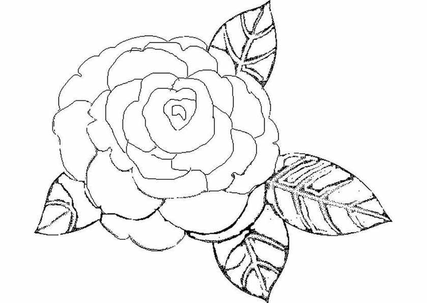 rosa de ojal
